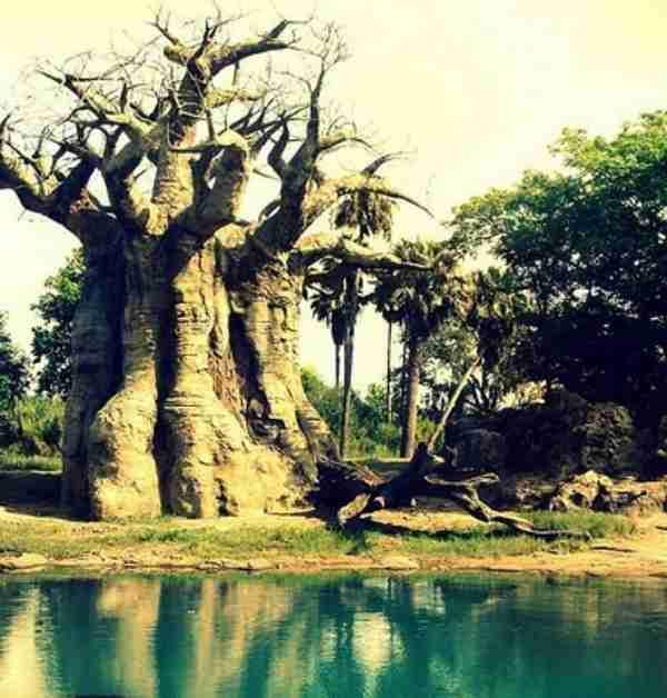 Το δέντρο baobab