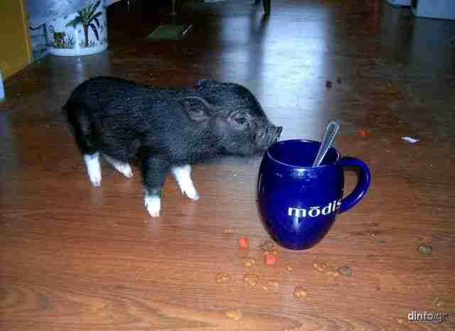Τα μικρότερα γουρούνια στον κόσμο