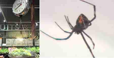"""Μια αράχνη """"Μαύρη Χήρα"""" βρέθηκε μέσα σε μια τσάντα που περιείχε  σταφύλια"""