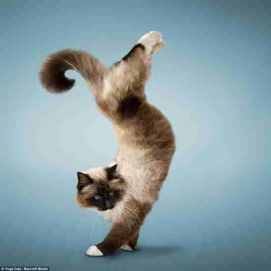 Αυτό θα δείτε γάτες να κάνουν… γιόγκα