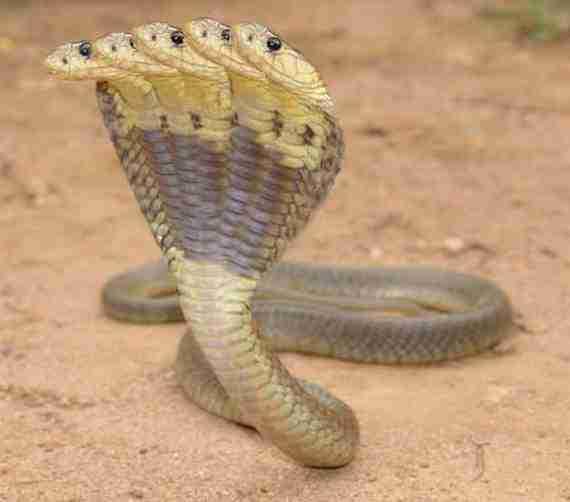 Φίδι με 5 κεφάλια;
