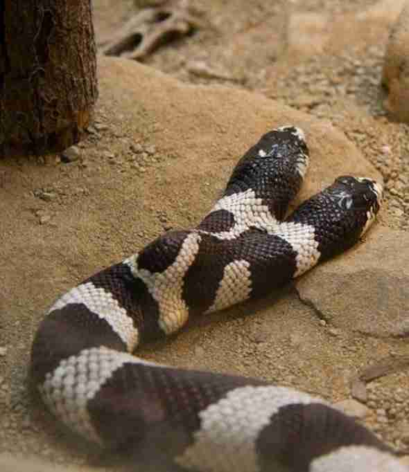 Φίδια με δύο κεφάλια