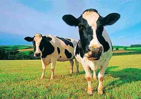 Οικονομία και.. αγελάδες!