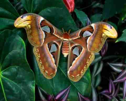 Η μεγαλύτερη πεταλούδα στον κόσμο