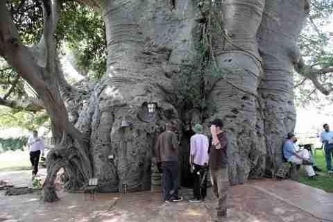 Ένα μπαρ μέσα στο μεγαλύτερο δέντρο