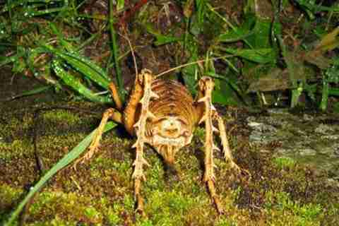 Giant Weta 3 Το μεγαλύτερο έντομο στον κόσμο!!