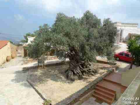 Olive Tree; 3,000 years old