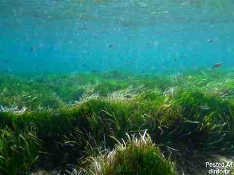 Posidonia Oceania Sea Grass; 100,000 years old