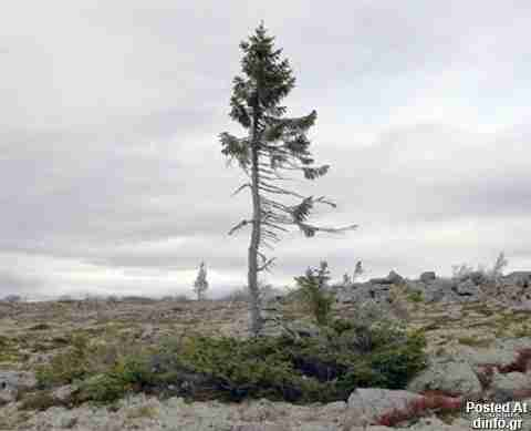 Spruce Gran Picea; 9,500 years old