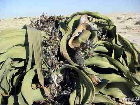 Welwitschia; 2,000 years old