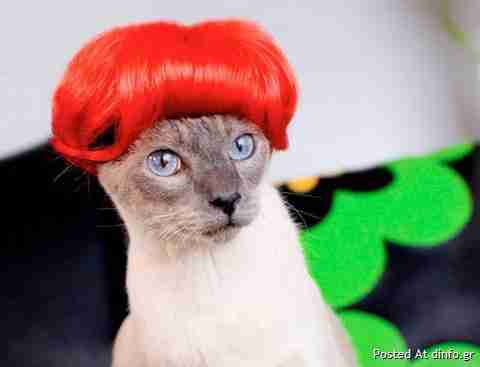 Πωλούνται περούκες για.. γάτες!