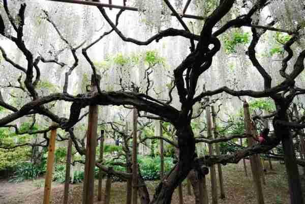 Το πάρκο λουλουδιών Ashikaga στην Ιαπωνία