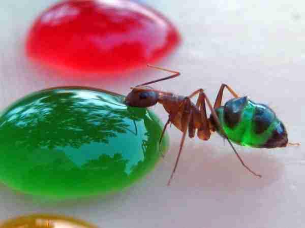 Διάφανα μυρμήγκια