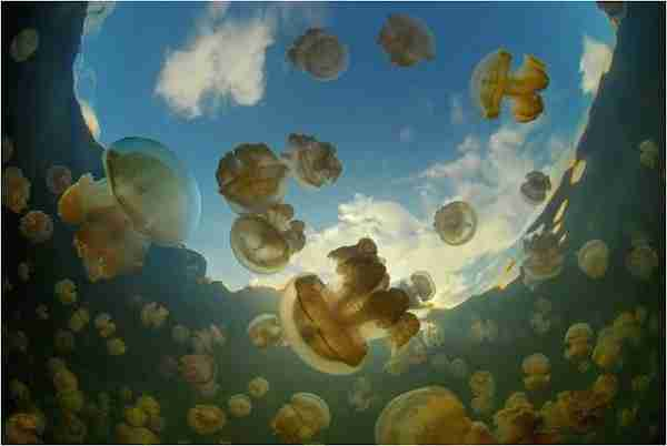 jellyfish lake-dinfo (3)