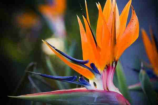 Το υπέροχο πουλί του Παραδείσου