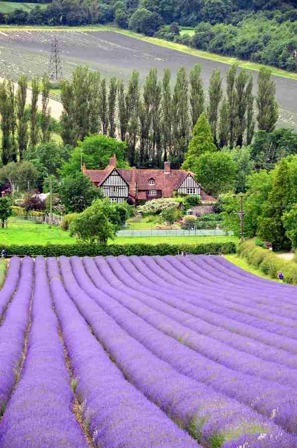 Αγροί με ανθισμένες λεβάντες