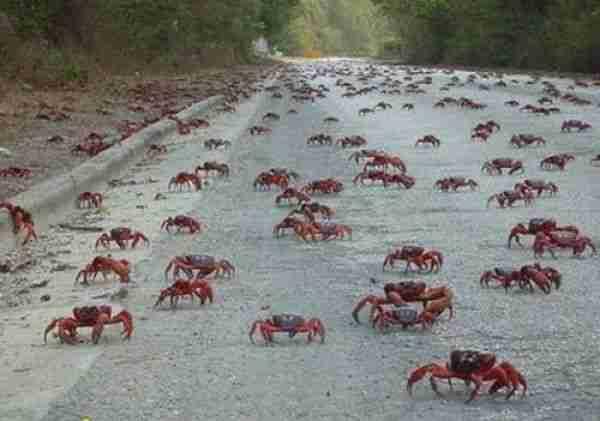 Η επιδρομή των κόκκινων καβουριών