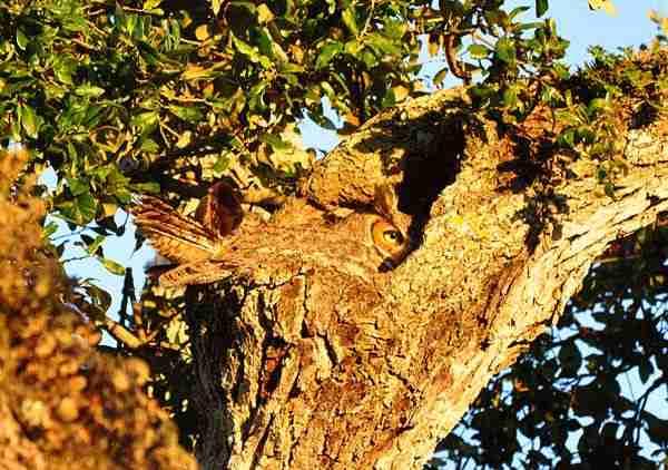 Κουκουβάγιες, οι βασίλισσες του καμουφλάζ