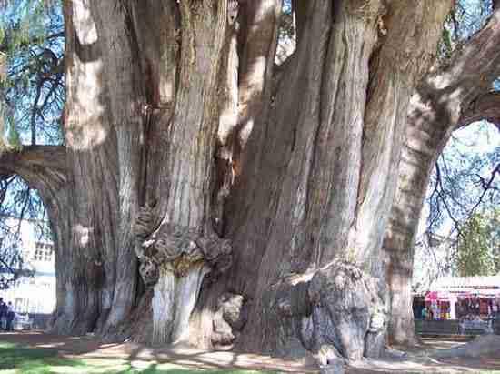 Το δέντρο της Tule, ένα δέντρο με περίπετρο 54 μέτρα!