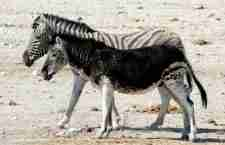 17 φωτογραφίες ζώων με μελανισμό