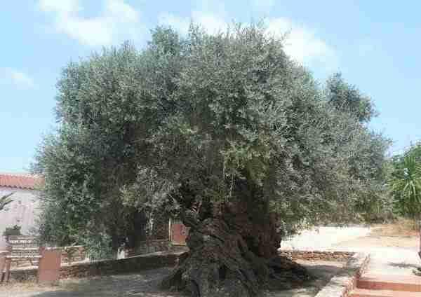 Ελιά ηλικίας 2500 χρόνων