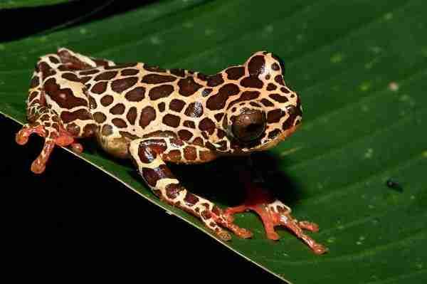 Ο βάτραχος που μοιάζει με κλόουνΟ βάτραχος που μοιάζει με κλόουν