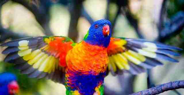 Rainbow Lorikeet2