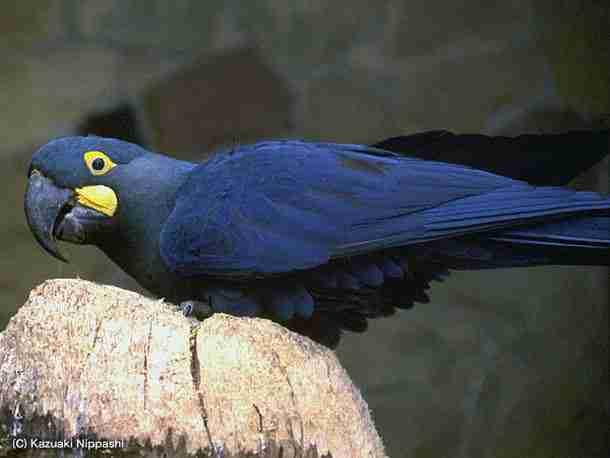 lears-macaw_img01-l