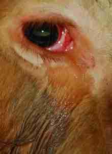 Ο ταύρος που κλαίει και ικετεύει για τη ζωή του