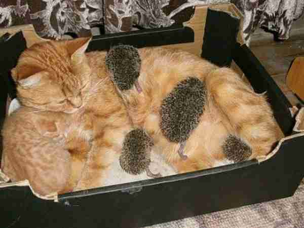 Cat-Mother-and-Orphaned-Hedgehogs-600x450