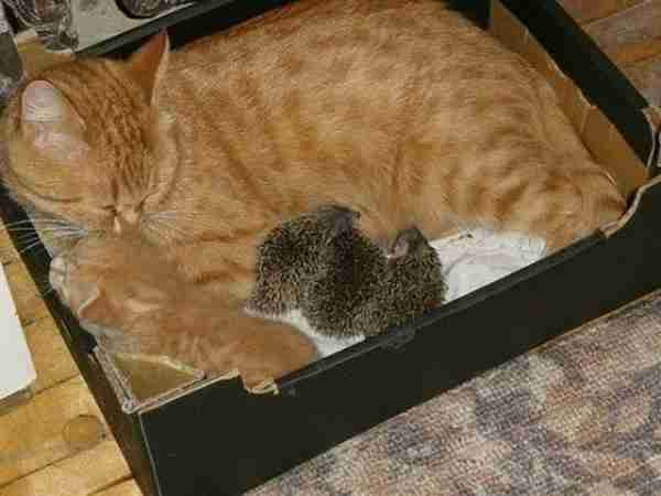 Cat-and-Orphaned-Hedgehogs-Sleeping-Photo-600x450