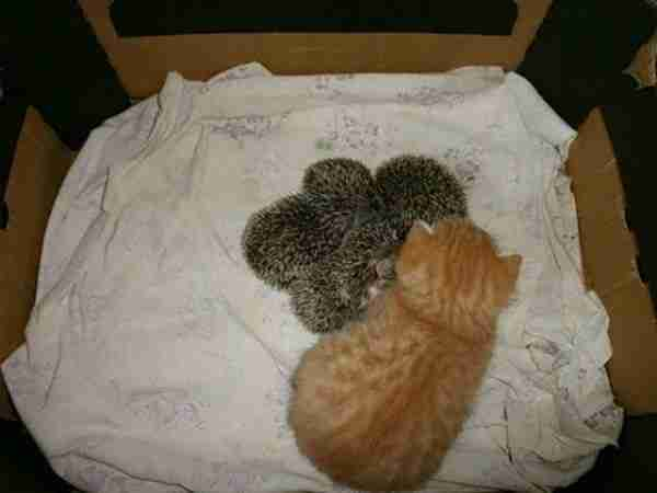 Kitten-Becomes-the-Mother-of-Orphaned-Hedgehogs-600x450