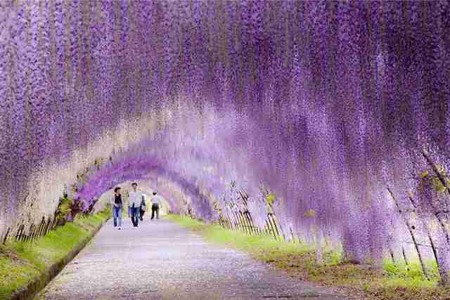 Wisteria Flower Tunnel in Japan 2