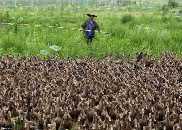 Ο αγρότης που βγάζει βόλτα τις 5.000 πάπιες του!