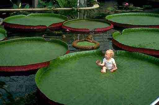 Το φυτό που μπορεί να σηκώσει ένα μωρό!