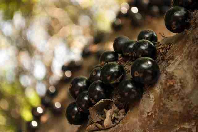 Jabuticaba, το δέντρο που οι καρποί φυτρώνουν στο κορμό του