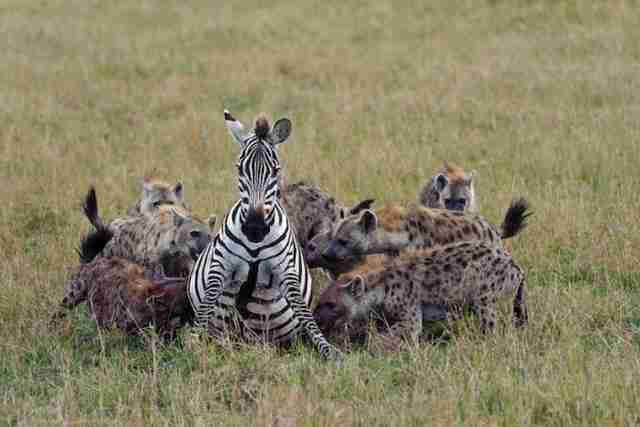 15 φωτογραφίες με ζώα την ώρα που αρπάζουν το θήραμα τους