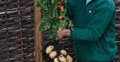 Ντοματοπατατιά: Δύο λαχανικά σε ένα φυτό