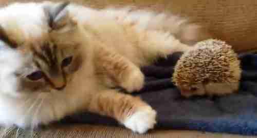 Γάτα κάθεται πάνω σε σκαντζόχοιρο!
