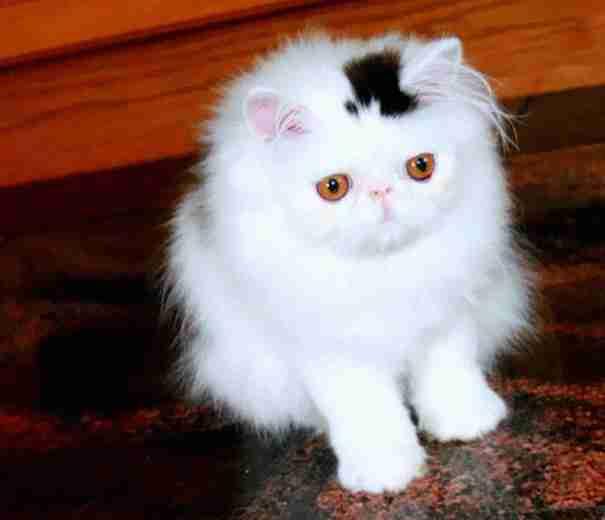 dinfo.gr - 10 γάτες που έγιναν διάσημες για το τρίχωμα τους