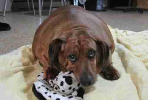 Ο υπέρβαρος σκύλος που κατάφερε να αδυνατίσει