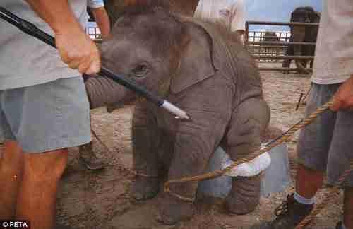 dinfo.gr - Να γιατί δεν πρέπει να ανεβαίνετε σε ελέφαντες στη Ταϊλάνδη