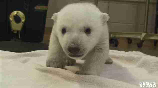 dinfo.gr - Τα πρώτα δειλά βήματα ενός γλυκύτατου μικρού αρκούδου