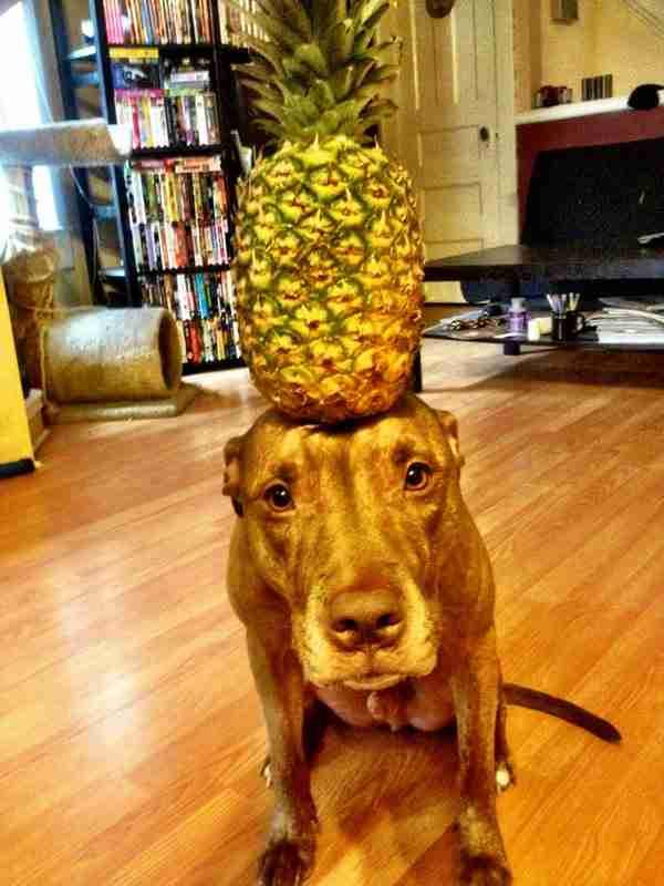 dinfo.gr - Ο σκύλος που μπορείς να τοποθετήσεις τα πάντα στο κεφάλι του και μετά να τον φωτογραφήσεις!