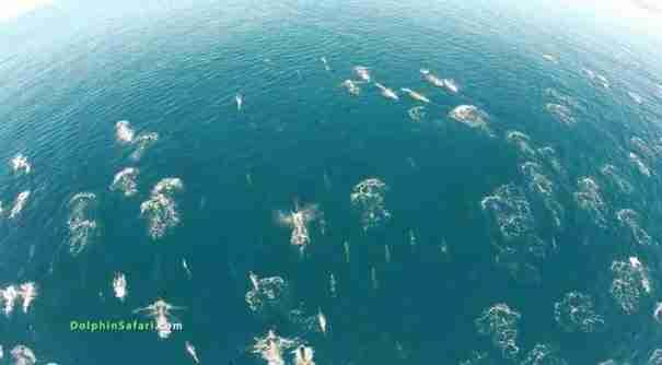 dinfo.gr - Καταπληκτικό βίντεο καταγράφει από ψηλά την μετανάστευση χιλιάδων δελφινιών
