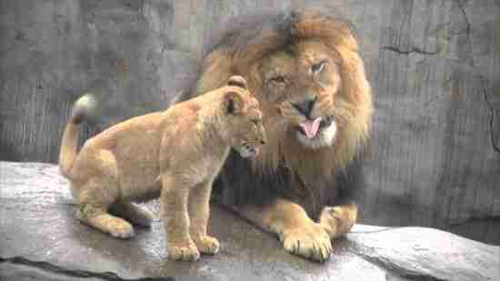 dinfo.gr - Τρίδυμα λιονταράκια συναντούν το μπαμπά τους για πρώτη φορά!