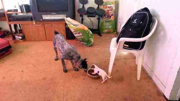 dinfo.gr - Ένας μικρός σκύλος δείχνει σε έναν πολύ μεγαλύτερο ποιος είναι το αφεντικό!