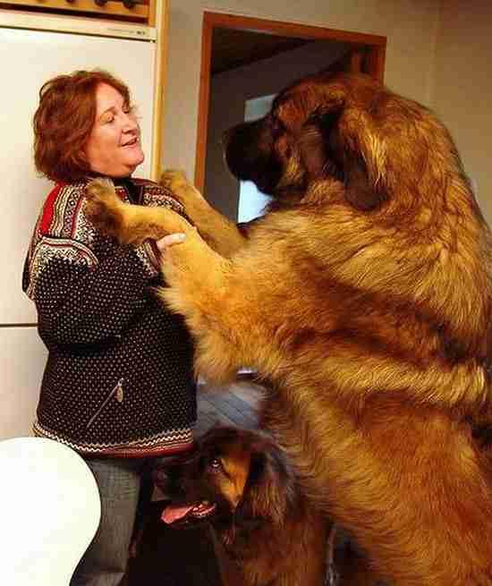 dinfo.gr - 16 σκυλιά που είναι μεγαλύτερα από τους ιδιοκτήτες τους!