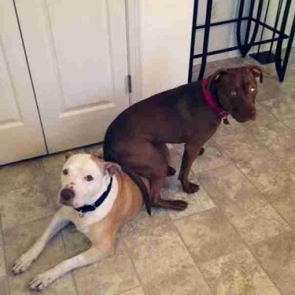 dinfo.gr - Η Ντόλλυ το πίτμπουλ δεν σταματάει να κάθεται πάνω στον αδερφό της, τον Ντούκ!