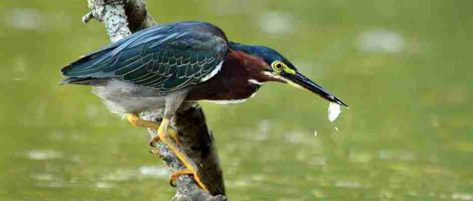 dinfo.gr - Αυτό το πουλί πιάνει ψάρια χρησιμοποιώντας για δόλωμα ψωμί!
